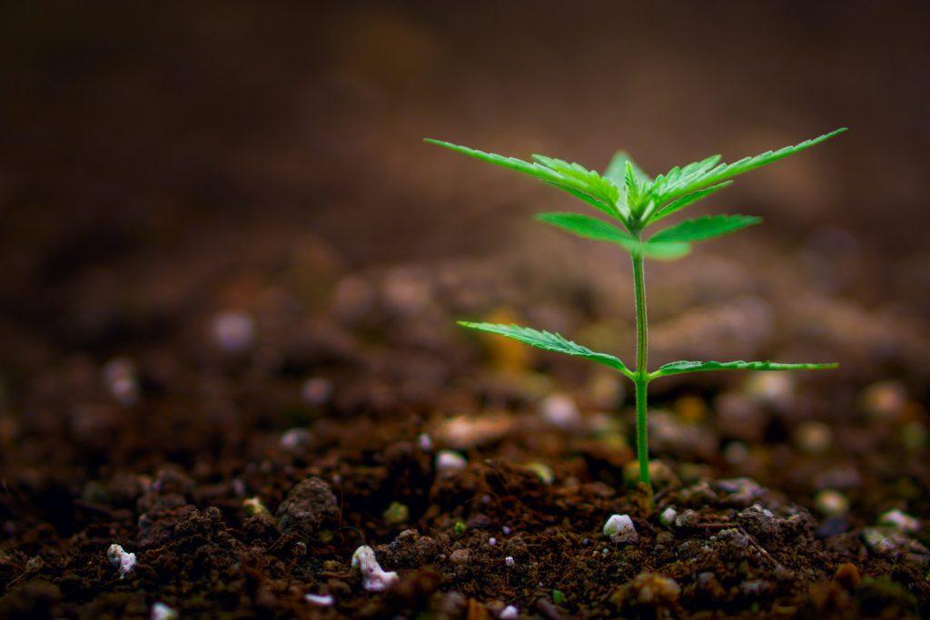 wiet kweken